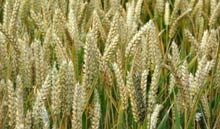 The biorefinery will use wheat straw as its main fuel source