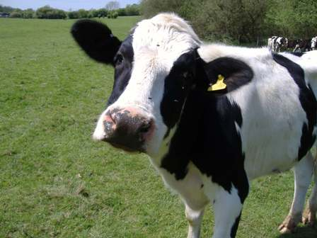 The new plant will handle cow manure from dairy farms