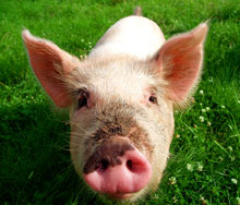 The waste from 9,000 pigs will be used to produce electricity and cut CO2 emissions
