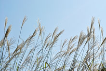 Canadian Biofuel will convert miscanthus and other energy crops into wood pellets and briquettes