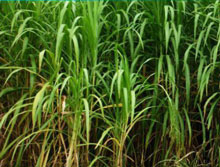 Giant king grass needs six and a half months growth time from plantation to harvest