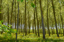 Poplar trees may become a future biofuel feedstock