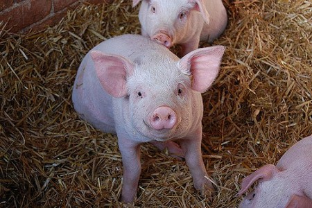 Duke Energy will use swine waste-derived gas to produce electricity Copyright Wayne