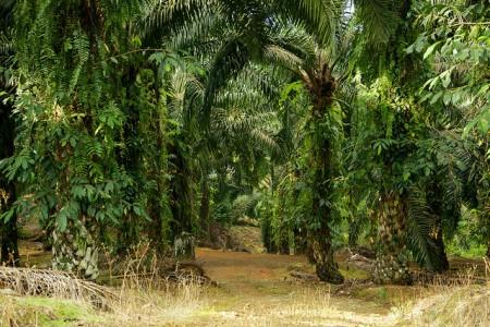 Palm oil plantation Copyright CIFOR