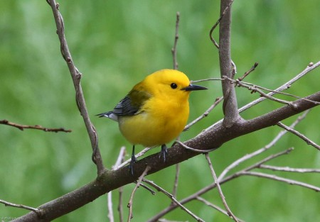 Prothonotary Warbler thrives in different habitats . Image retrieved of Flickr copyright Phillip Kenny