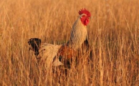 Rooster in grass. Image courtesy of User:Fir0002, via Wikimedia Commons