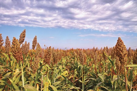 Sorghum is a unique crop in that most varieties are both drought and heat tolerant. The development of a low input, environmentally safe and highly productive sorghum germplasm will help establish a lignocellulosic energy economy that can provide jobs to rural communities, ensure energy security and benefit the environment.