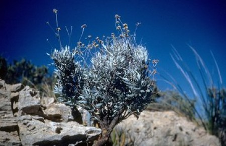 Parthenium argentatum (Guayule). Courtesy of the US Department of Agriculture