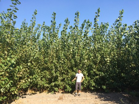 The researchers harvested poplar trees approximately the size shown in this photo.Chang Dou/University of Washington