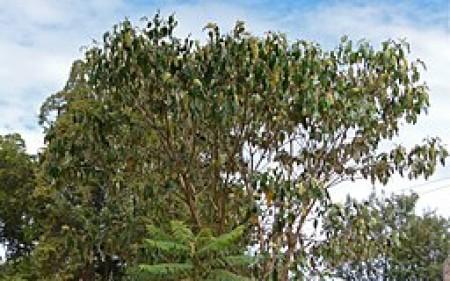 Large-nut croton (Croton megalocarpus) photographed in Nanyuki, Kenya. Source: Wikimedia Commons, by Christiaan Kooyman.