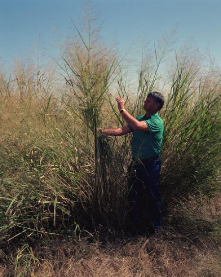 A man standing next to switchgrass (Warren Gretz, US Department of Energy)