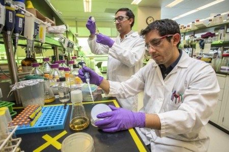 Project scientist Daniel Mendez (right) and postdoc Nawa Baral work on samples at JBEI, Lawrence Berkeley National Laboratory. Credit: Marilyn Chung/Berkeley Lab